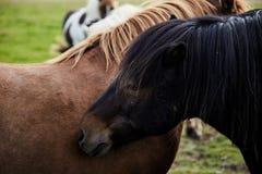 Two Icelandic Horses stock images