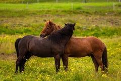 Two Icelandic horses royalty free stock photography