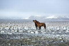 Two Icelandic horses in winter landscape Stock Photos