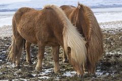 Two Icelandic horses in wintertime Royalty Free Stock Photography