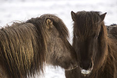 Two Icelandic horses in wintertime Royalty Free Stock Image