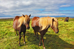 Two Icelandic horses with yellow  manes Stock Images