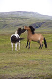 Two Icelandic Ponies Stock Image