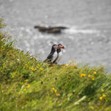 Two Icelandic puffins at remote islands in Iceland, summer, 2015 Stock Images