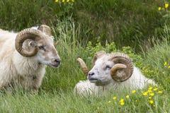Two Icelandic Sheep Rams Stock Photos