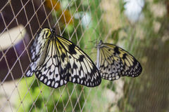 Two Idea leuconoe butteflies sitting on the cage Royalty Free Stock Photos