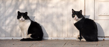 Two identical black and white cat Royalty Free Stock Photo