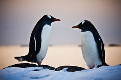 Two identical penguins Royalty Free Stock Photography