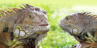 Two Iguana Stock Photo