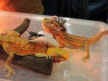 Two iguana. Royalty Free Stock Photo