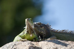 Two Iguanas. Picture of green and dark green iguanas taken on Palm Beach in Aruba stock photo
