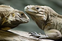 Two iguanas. Two cuban iguanas on a branch Stock Images