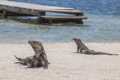 Two iguanas on the beach. Two iguanas on a beach in the background with a Cuban cayo an old wooden pier Royalty Free Stock Image