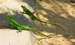 Two iguanas at a beach in the windward islands Stock Photos