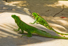 Two iguanas at a beach in the windward islands Stock Image