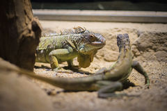 Two Iguanas Stock Photography