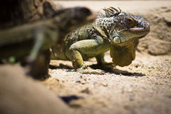 Two Iguanas Royalty Free Stock Photo