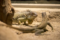 Two Iguanas Royalty Free Stock Photos