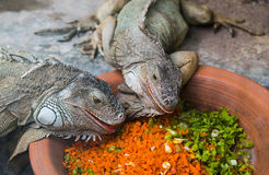Two iguanas eating Stock Images