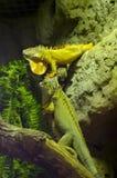 Two iguanas Stock Photography