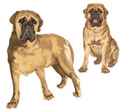 Two Images Of Mastiff Royalty Free Stock Images
