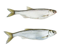 Two images of one live freshwater fish Stock Image