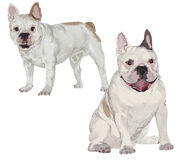 Two images of white French bulldog Stock Images