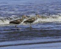 Two imature white ibis stock photography