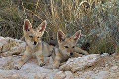 Two immature black-backed jackal Stock Photos