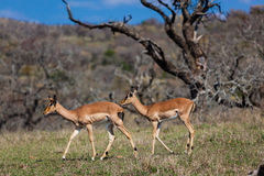 Two Impala Buck Wildlife. Telephoto lens photo image of two female impala  buck walking through the hillside of dry trees down towards the river.Walking in line Stock Photo