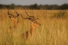Impala bucks. Two impala bucks in veld stock photos