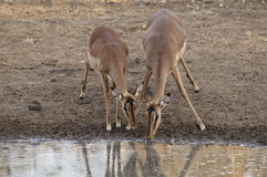 Two Impala drinking. From a watering hole Royalty Free Stock Photos