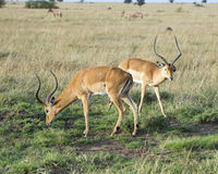 Two impala with large antlers grazing on green grass Stock Photo