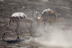 Two impala male fight on dusty and dry sand Royalty Free Stock Image