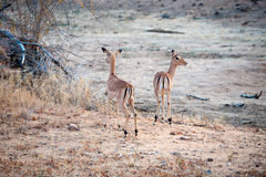 Two Impala in open ground Stock Image