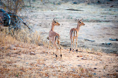 Two Impala in open ground Stock Photography