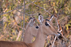 Two impala. Standing side by side looking into the distance Royalty Free Stock Photography