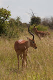 Two Impalas. In Kruger National Park Stock Photography