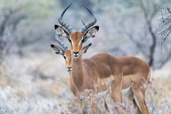 Two impalas Stock Photography