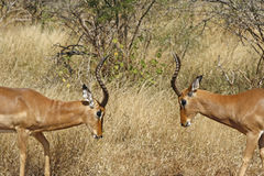 Two impalas fighting Stock Photo