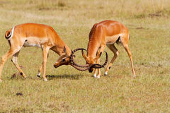 Two impalas fighting. With horned locked Royalty Free Stock Image