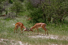 Two impalas fighting Stock Photos