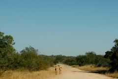 Impalas on a path in South Africa Stock Photos