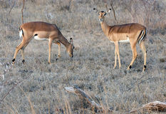 Two Impalas in wild Stock Image