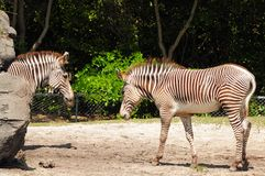Two imperial zebras Stock Photo
