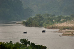Two Indian Bisonsare crossing river Stock Images