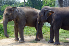 Two Indian elephant Royalty Free Stock Photo