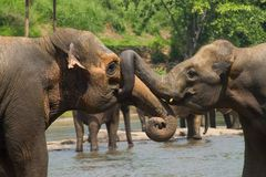 Two big indian wild elephants. Two big indian elephants playing together in river  in Sri Lanka National park of save wild elephans Royalty Free Stock Photography