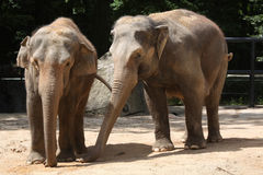 Two Indian elephants (Elephas maximus indicus). Stock Photo