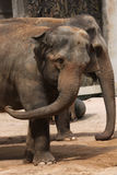 Two Indian elephants (Elephas maximus indicus). Stock Images